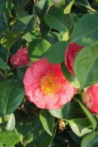 Camellia japonica \' Guest of Honor \'