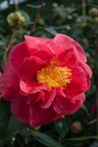 Camellia japonica \' Guest of Honor \', arbuste persistant au feuillage vert et aux fleurs semi doubles rose saumon en hiver.