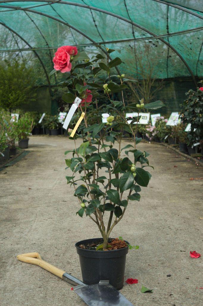 Camellia japonica \' Kramer\'s Suprême \'