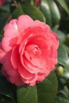 Camellia japonica \' Mme Louis Von Houtte \', arbuste persistant vert aux fleurs imbriquées roses en hiver.