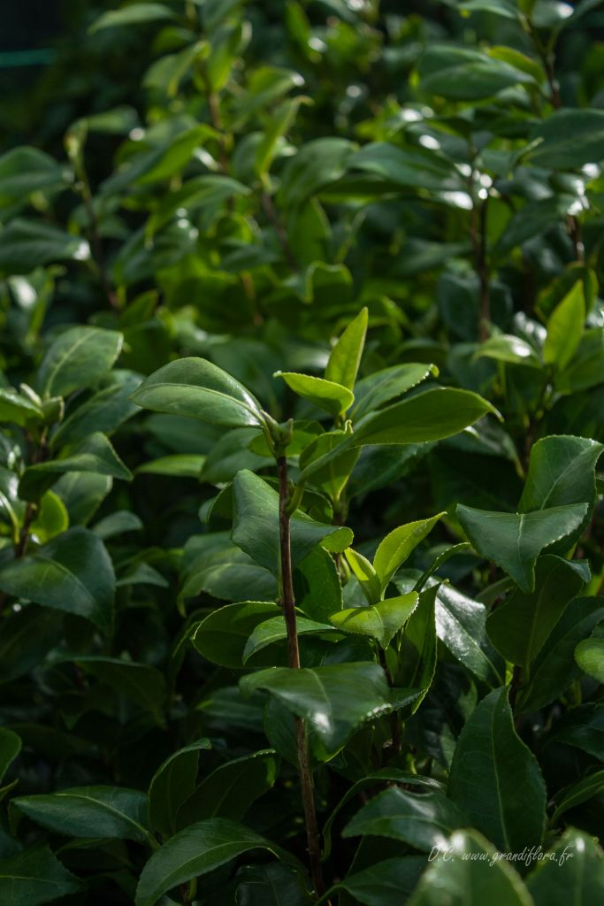 Camellia japonica \'Cereixa De Tollo \'