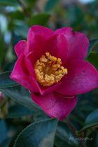 Camellia sasanqua \' Kanjiro \', arbuste persistant vert aux fleurs rose vif semi doubles parfumées en automne.