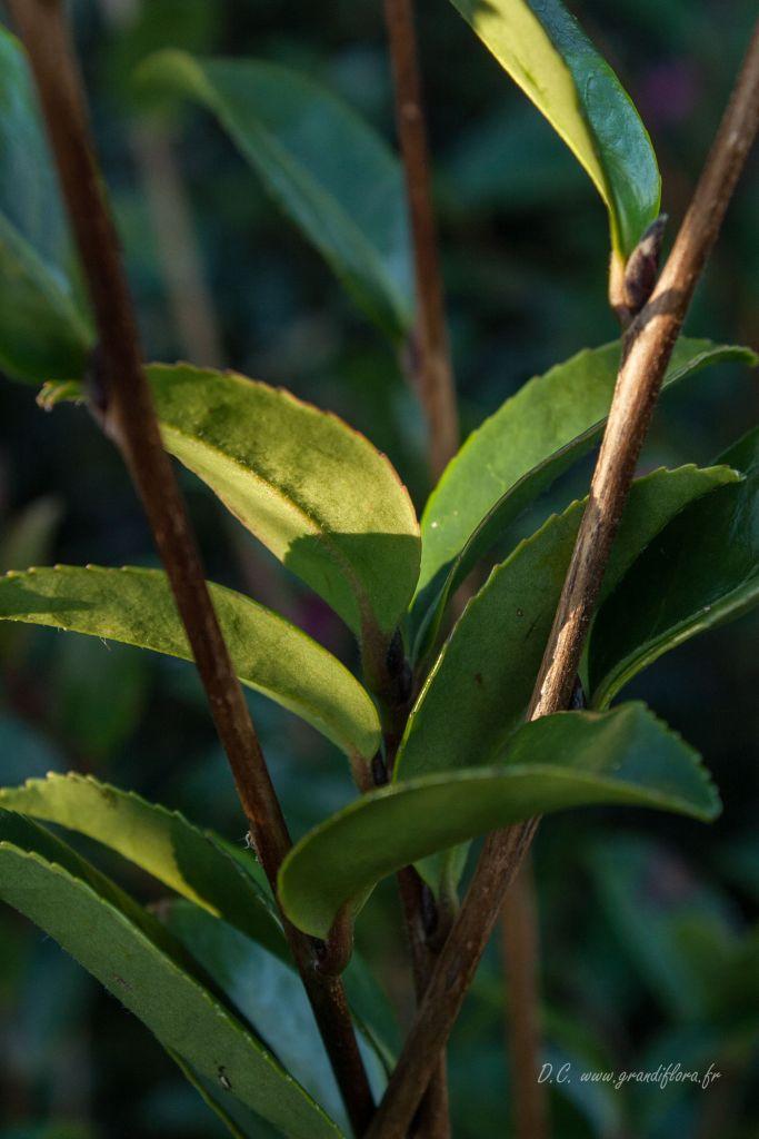 Camellia sasanqua \' Narumigata \'