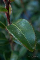 Camellia sasanqua \' Weerona \'