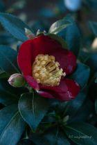 Camellia sasanqua \' Yuletide \', arbuste persistant au feuillage vert et aux fleurs simples rouge vif en automne.