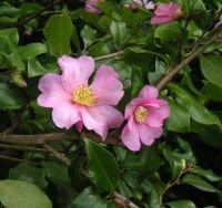Camellia sasanqua Isoli, arbuste aux feuilles vertes persistantes et aux fleurs simples rose clair