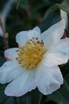 Camellia sasanque Weerona, arbuste persistant vert aux fleurs simples blanches et roses à l\'automne.