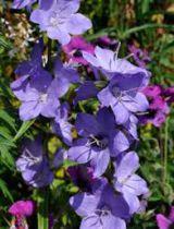Campanula latiloba \'Highcliffe Variety\'