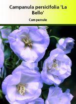 Campanula persifolia \'La Bello\'