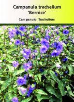 Campanula trachelium \'Bernice\'