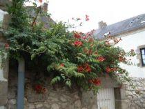 Campsis x tagliabuana \' Mme Galen\' ou bignone à fleur rouge orangé en trompette
