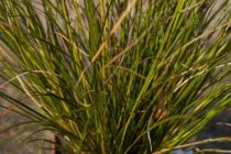 Carex calotides \'calita\'
