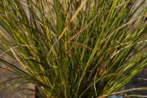 Carex calotides \'calita\'