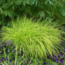 Carex elata \'Aurea\'