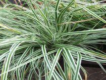 Carex oshimensis \'Everest\'
