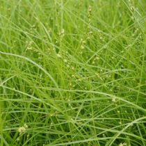 Carex rosea