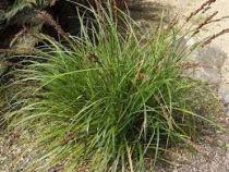 Carex solandri