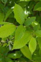IMG_6063, arbre de petite ou moyenne taille au feuillage vert clair jaune brunâtre en automne
