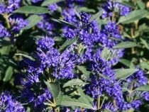 Caryopteris x clandonensis Grand bleu® \'Inoveris\'