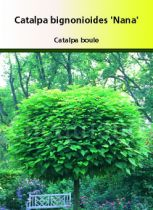 Catalpa bignonioides \'  Nana \', arbre au feuillage caduc vert clair à la cime ronde et régulière.