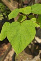 IMG_0241, arbre au feuillage caduc bronze à la naissance puis jaune, jaune vert en été et jaune d\'or en automne. Fleurs blanches en clochette rayé de jaune et ponctuer de pourpre en été. Fruit en gousse brune.