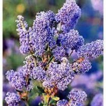 Ceanothus autumnal blue