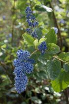 Ceanothus arboreus \'Trewithen Blue\'