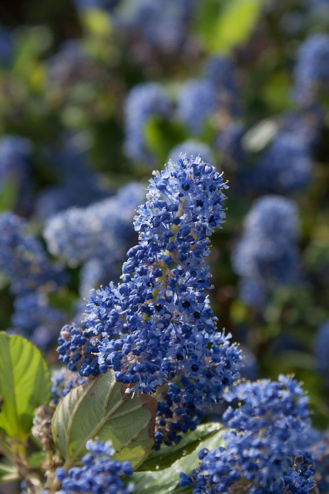 ceanothus arboreus 39 trewithen blue 39. Black Bedroom Furniture Sets. Home Design Ideas