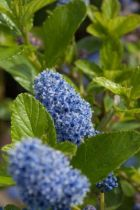 Ceanothus arboreus \'Trewithen Blue\', arbuste persistant à belle floraison bleue tendre au printemps