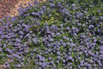 Ceanothus thyrsiflorus \'repens\', arbuste rampant de plein soleil fleurissant en pompons bleus en mai-juin.