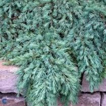 Cedrus deodara \'Feeling Blue\'