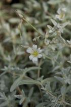 Cerastium tomentosum, vivace persistante au feuillage gris et aux petites fleurs blanches au printemps.