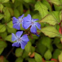 Ceratostigma willmottianum \'Selection\'