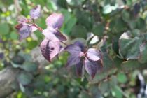 Cercidiphyllum japonicum \'Rotfuchs\'