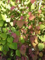 Cercidiphyllum japonicum, petit arbre caduc au feuillage rond vert bleuté prenant des couleurs rouges au printemps et jaune orangé à l\'automne. feuilles au parfum de caramel.