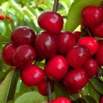 cerisier--bigalise--z-enjidel-p-image-33879-grande