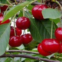 Cerisier \'Allegria\' ® Delkarsun, arbre fruitier caduc à feuille verte et aux fruits rouge en été.