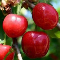 Cerisier \'Anglaise Hative\', arbre fruitier caduc à feuille verte et aux fruits rouge vif en été.