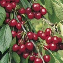 Cerisier \'Belle Magnifique\', arbre fruitier caduc à feuille verte et aux fruits rouge en été.