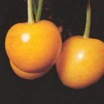 Cerisier \'Bigarreau Jaune de Butner\', arbre fruitier caduc à feuille vert et aux fruits jaune en été.