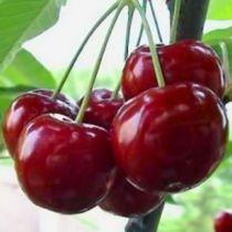 Cerisier \'Bigarreau Reverchon\', arbre fruitier caduc à feuille verte et aux fruits rouge en été.
