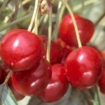 Cerisier \'Bigarreau Van\', arbre fruitier caduc à feuille verte et aux fruits rouge en été.