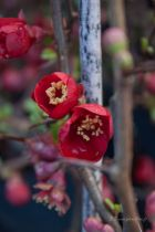 Chaenomeles x superba \' Crimson and Gold \'