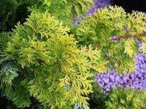 Chamaecyparis obtusa \'Aurea\'