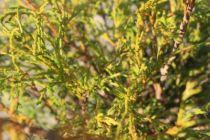 Chamaecyparis pisifera \'Filifera\'
