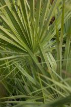 Chamaerops humilis, palmier nain persistant vert en touffe avec plusieurs stipes.
