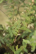 Cheilanthus parryi