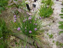 Allium schoenoprasum ou ciboulette, aromatique ou condimentaire dont on consomme les tiges fines et vert tendre. Fleurs roses en début d\'été.