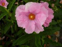 cistus anne palmer, arbuste persistant vert à floraison rose pâle de mai à août. Aspect chiffonné style papier crépon de la fleur.