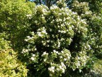 cistus populifolius, arbuste persistant vert de 1.50 m de haut par 1.50 m de large et à fleurs blanches au printemps.